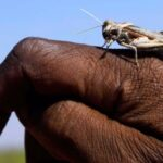 Closeup of an African national's hand with a locust sitting on it