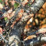 Closeup of tree brach covered in locusts